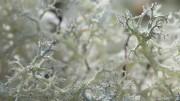 Gros plan sur lichen des rennes, Cladonia portentosa - ©eco-systeme-Serge-H